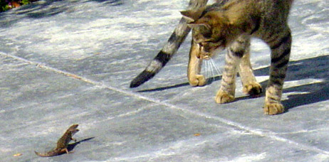 lizard and cat fighting