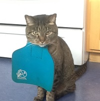 Murphy the cat wearing a blue catbib